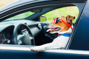 30507593 - dog leaning out the car window with funny sunglasses